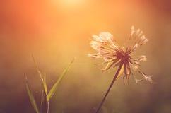 Closeup photo of dandelion at sunrise Stock Image
