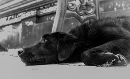 Closeup Photo of Dog Lying on the Ground Royalty Free Stock Photography