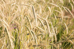 Closeup photo of ears on field of rye Royalty Free Stock Photos