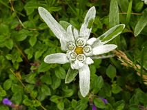 Closeup photo of an edelweiss flower royalty free stock image