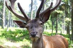 Closeup photo of european deer with antler. Royalty Free Stock Image