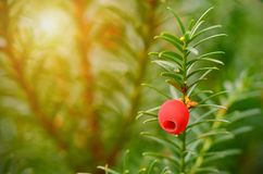 Closeup photo of fir tree with red berry Stock Photo