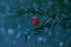 Closeup photo of fir tree with red berry Stock Images