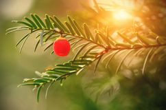 Closeup photo of fir tree with red berry Stock Photography