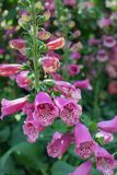 Closeup photo of a flowering Foxglove plant royalty free stock photos
