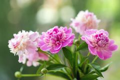 Closeup photo of flowers (peonies). Shallow depth of field Royalty Free Stock Photos