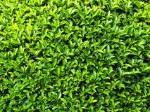 Green Foliage for Background and Texture. Closeup Photo of Fresh Green Foliage for Background and Texturen royalty free stock photo