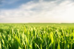 Closeup photo of fresh green grass Royalty Free Stock Photo