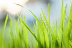 Closeup photo of fresh green grass Royalty Free Stock Photography