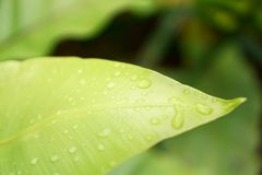 Fresh green leaf with dew drops of Bird`s nest fern is an epiphytic plant in Aspleniaceae family stock image