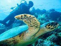 The closeup photo of gigantic sea turtle on the foreground and scuba diver on the background. stock photo