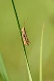 Closeup photo of a grasshopper Stock Image