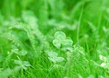 Closeup photo of green clover Stock Image