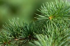 Closeup photo of green needle pine tree