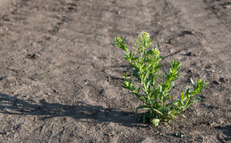Closeup photo of green weed. In the farm royalty free stock photos
