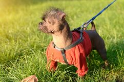 Closeup photo of a hairless dog Stock Photo