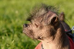 Closeup photo of a hairless dog Royalty Free Stock Images