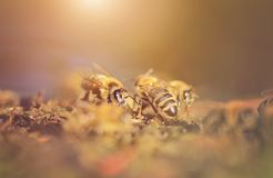 Closeup photo of honey bee Stock Photos