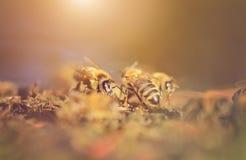 Closeup photo of honey bee Stock Photos