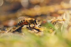 Closeup photo of honey bee Royalty Free Stock Photos