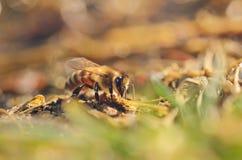 Closeup photo of honey bee Stock Images