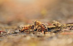 Closeup photo of honey bee Royalty Free Stock Images