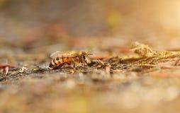 Closeup photo of honey bee Royalty Free Stock Photography