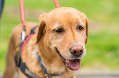 Closeup photo of a Labrador dog face in park. Closeup photo of a Labrador dog face in the park Royalty Free Stock Images
