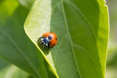 Closeup photo of a ladybug climbing a green leaf on a sunny day. With a blurred background Royalty Free Stock Photos
