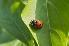 Closeup photo of a ladybug climbing a green leaf on a sunny day. With a blurred background Royalty Free Stock Images