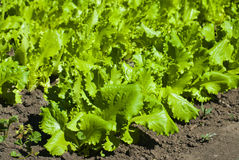 Closeup photo of lettuce garden bed Royalty Free Stock Photography