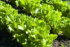 Closeup photo of lettuce garden bed Stock Photography