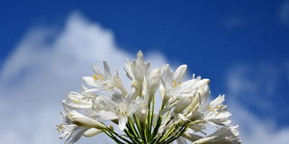 Closeup photo of Lily of the Nile, also called African White Lily flower Royalty Free Stock Photo