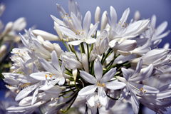 Closeup photo of Lily of the Nile, also called African White Lily flower Stock Image
