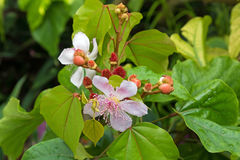 Closeup photo of lipstick tree, Achiote pink flowers and seed po. Ds in red Bixa orellana in the garden in Singapore Royalty Free Stock Photography