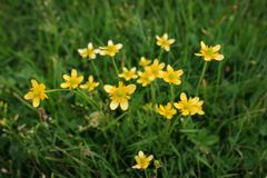 Yellow flowers in the meadow. Closeup photo of little yellow flowers in green grass royalty free stock images