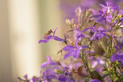 Closeup photo of lobelia flowers with insect Royalty Free Stock Photography