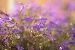 Closeup photo of lobelia flowers in sunset Royalty Free Stock Photo