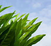 Closeup photo of long green leaves against sun and blue sky Stock Photography