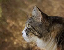 Closeup Photo of Lynx Stock Image