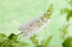Closeup photo of mint flower Stock Photos