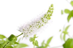 Closeup photo of mint flower on white Stock Photo