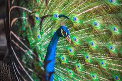 Closeup photo of Peacock with feathers out Stock Image