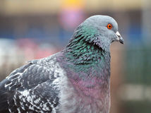 A closeup photo of pigeon Royalty Free Stock Images
