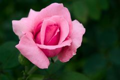 Closeup Photo of Pink Petaled Flower royalty free stock images