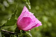 Closeup Photo of Pink Petaled Flower royalty free stock image