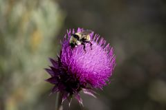 Purple Thistle Flower in Utah Mountains With Bumblebee. Closeup photo of purple thistle flower with a bumblebee settled in to gather pollen Stock Images