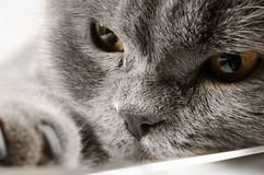 Closeup photo of a quiet British cat Royalty Free Stock Images