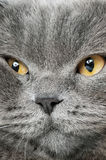 Closeup photo of a quiet British cat Royalty Free Stock Photography