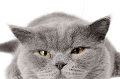 Closeup photo of a quiet British cat Royalty Free Stock Photos
